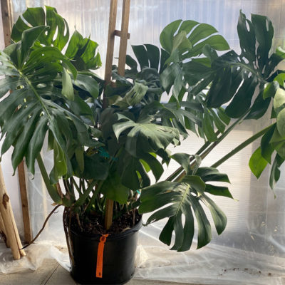photo of plant monstera photo